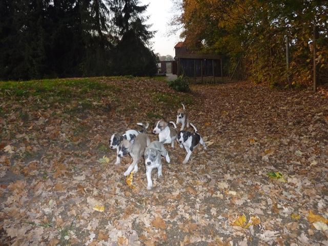Die L-Puppys sind jetzt 5 Wochen alt und nutzen das trockene Laub zum Spielen.