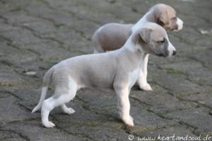Ivory 4 Wochen alt