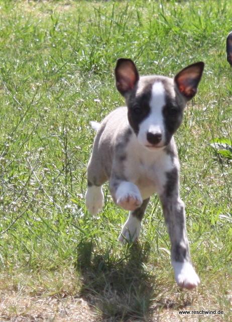 Kohinoor 7 Wochen alt