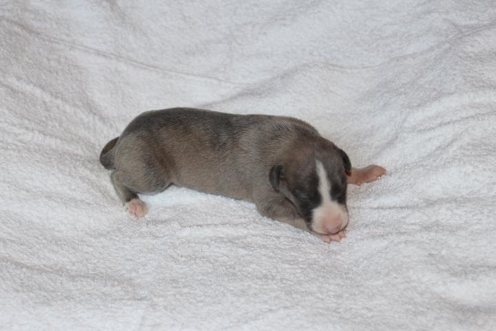 Hündin 1 -2 Wochen alt