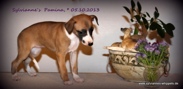 Pamina 6 Wochen alt