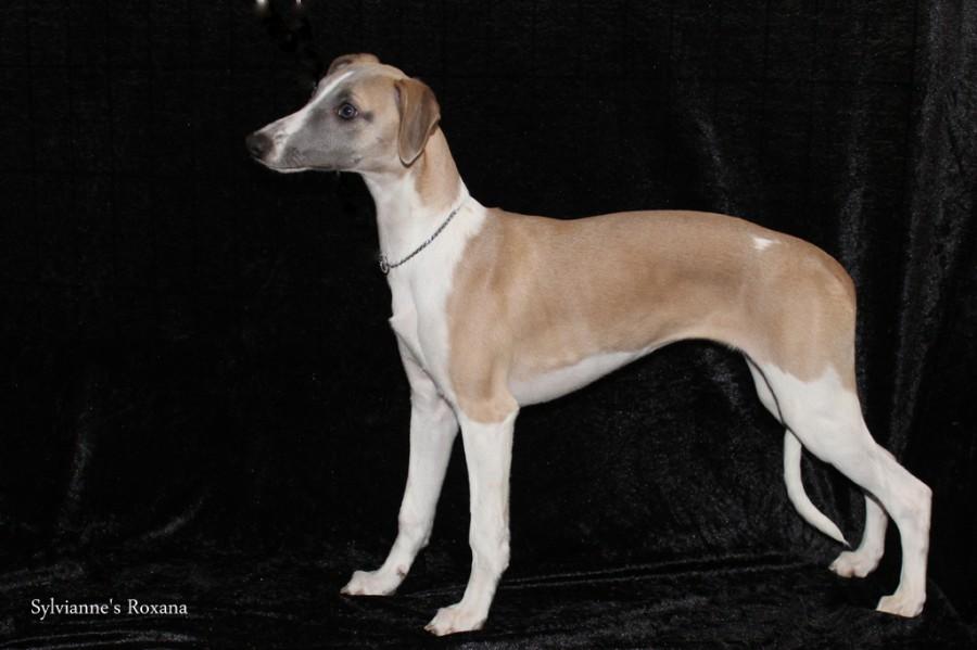 Sylvianne's Roxana - Beste Jongste Pup - Benelux Winner 2015