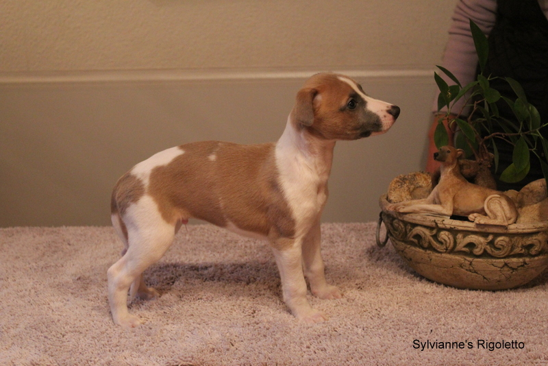Rigoletto 6 Wochen alt