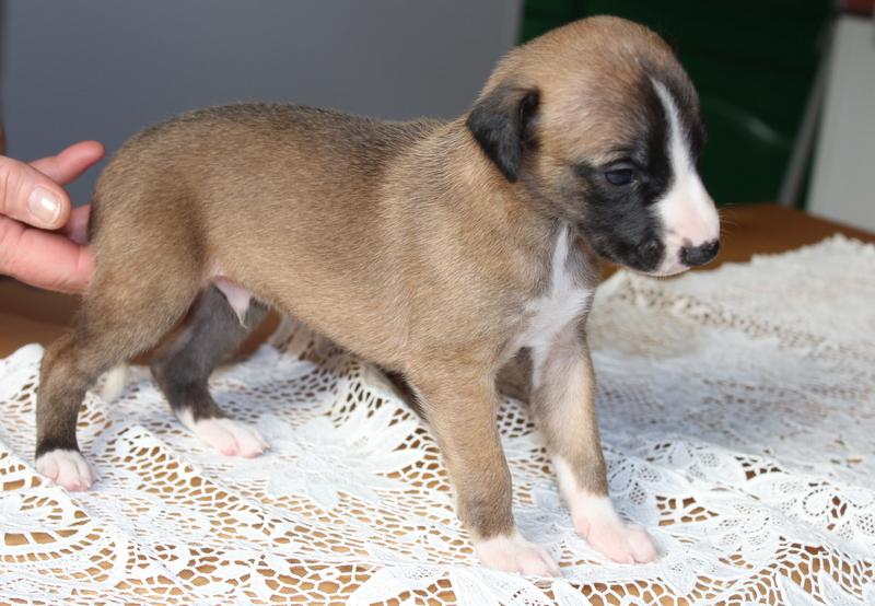 Rüde 3 - Wochen alt