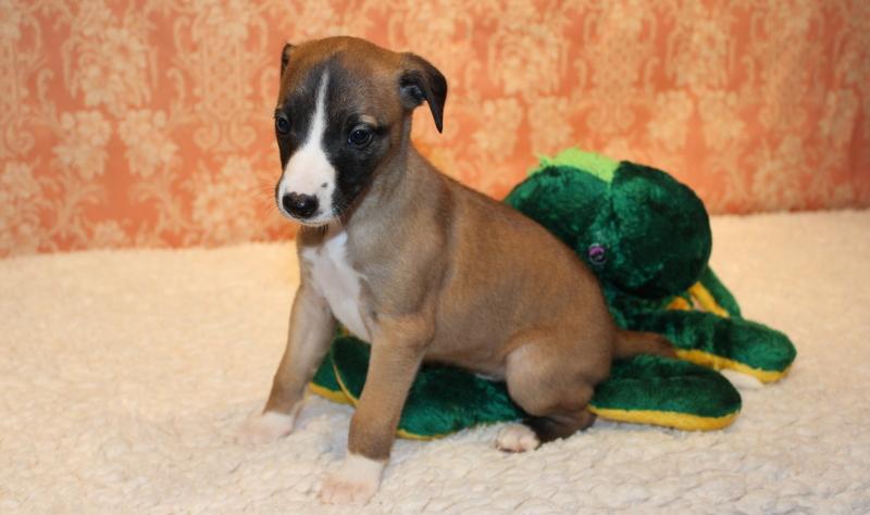 Rubinstein 4 Wochen alt