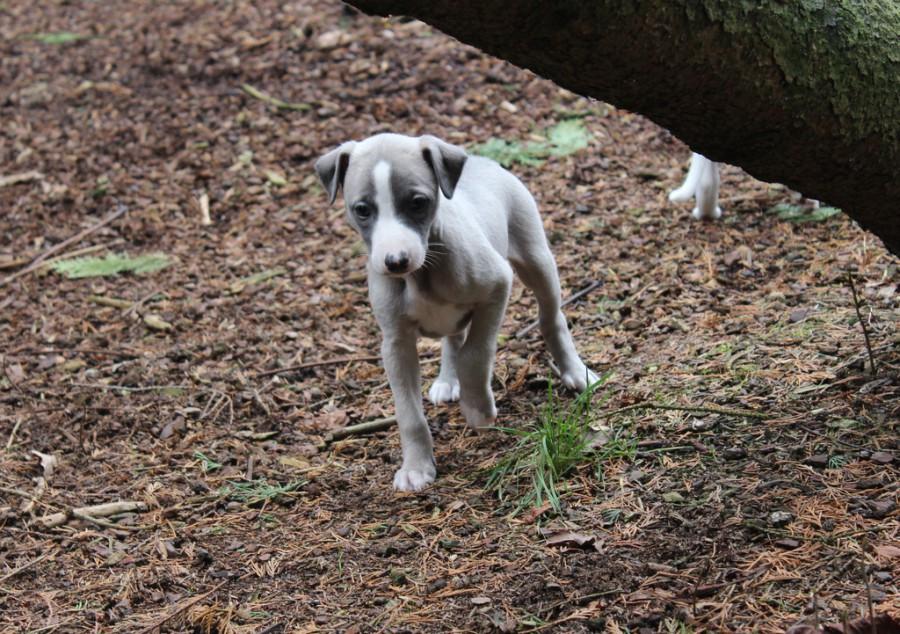 Sigourney 5 Wochen alt