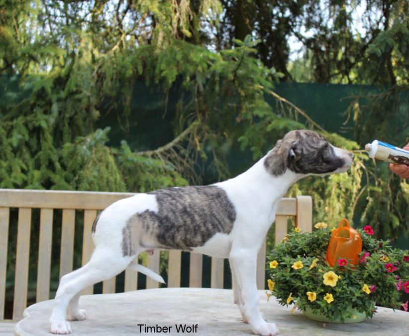 Timber Wolf 7 Wochen alt