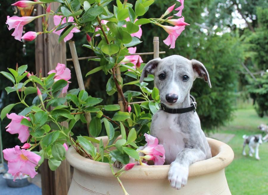 Tinker Bell 8 Wochen alt