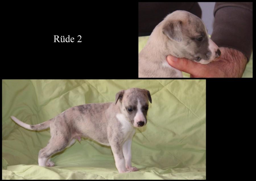 Rüde 2 - 4 Wochen alt