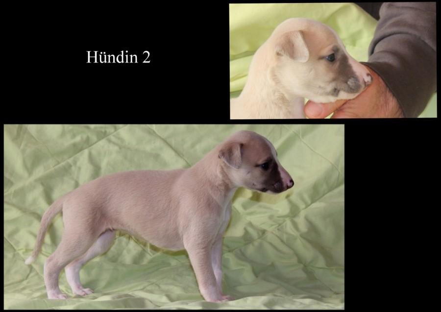 Hündin 2 - 4 Wochen alt