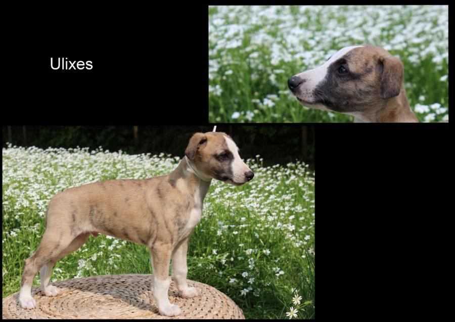 Ulixes 7 Wochen alt