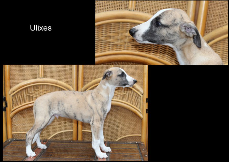 Ulixes 8 Wochen alt