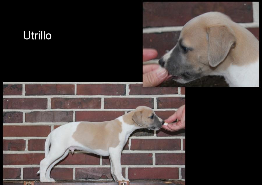Utrillo 6 Wochen alt