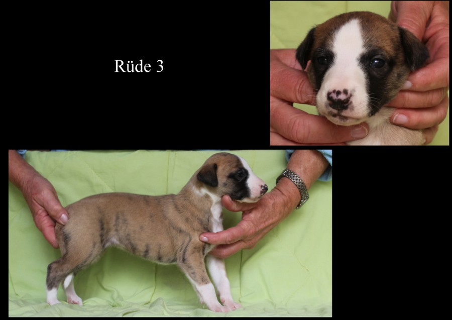 Rüde 3 - 3 Wochen alt