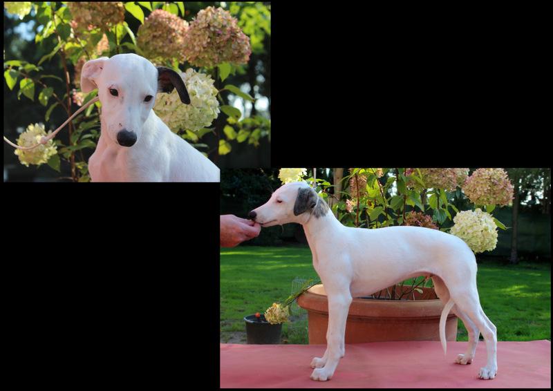 White Lion 12 Wochen alt