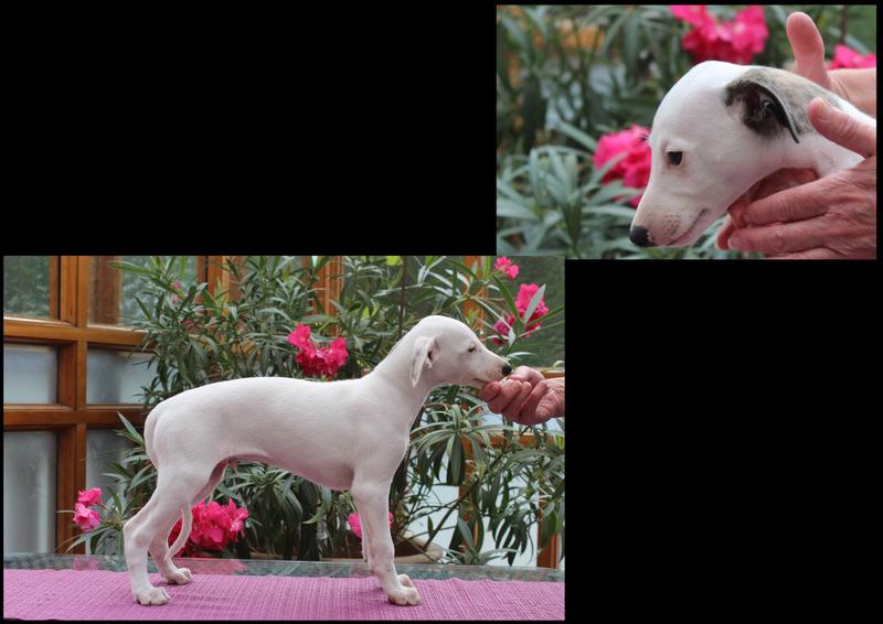 White Lion 8 Wochen alt