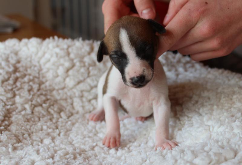 Hündin - 2 Wochen alt