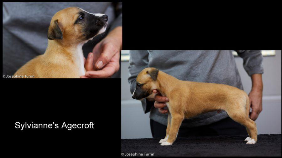 Agecroft 5 Wochen alt