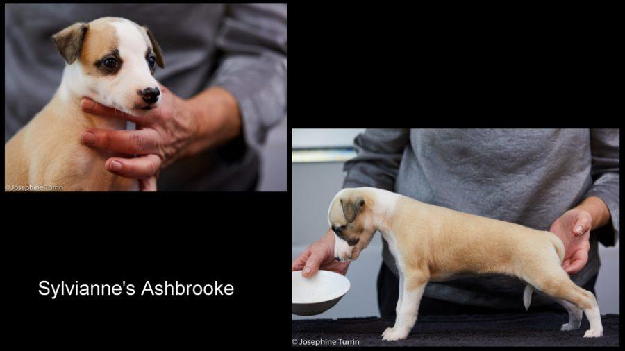Ashbrooke 5 Wochen alt