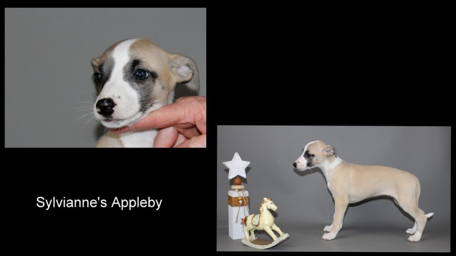 Appleby 7 Wochen alt