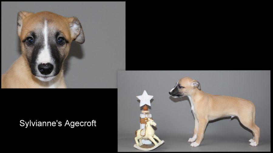 Agecroft 7 Wochen alt
