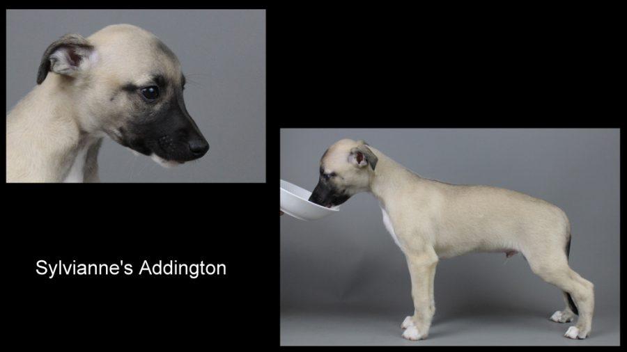 Addington 7 Wochen alt