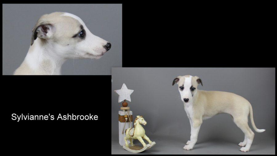 Ashbrooke 7 Wochen alt