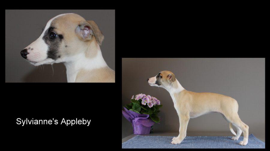 Sylvianne's Appleby 8 Wochen alt