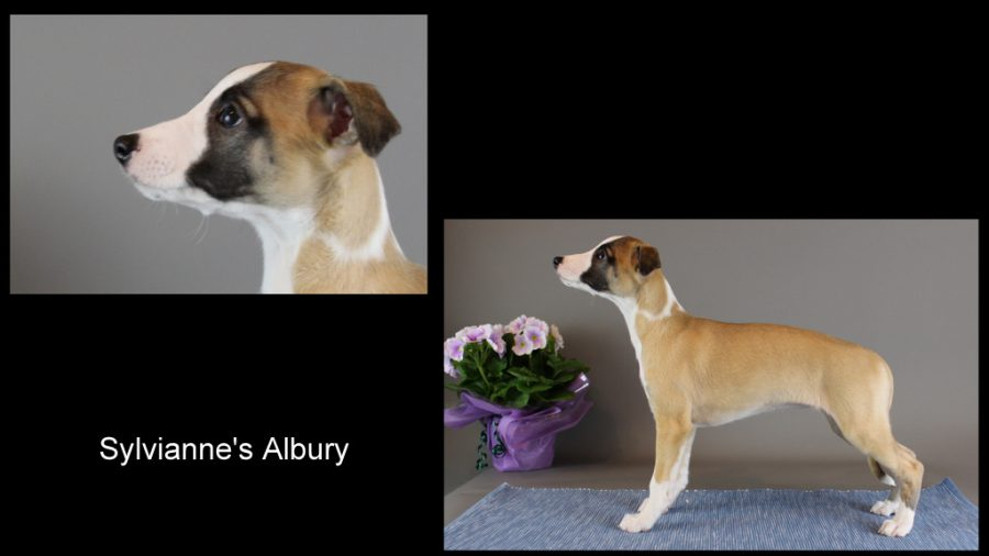 Sylvianne's Albury 8 Wochen alt