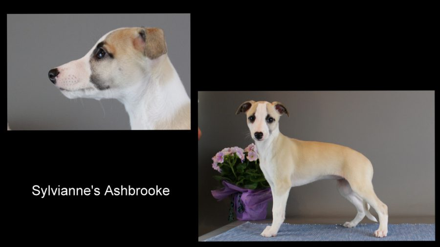 Sylvianne's Ashbrooke 8 Wochen alt