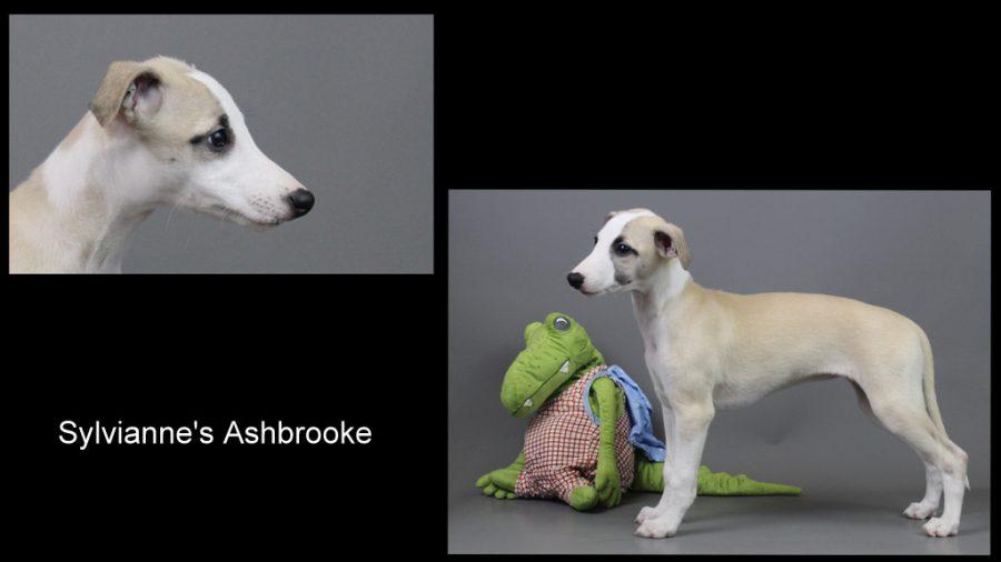 Sylvianne's Ashbrooke 10 Wochen alt