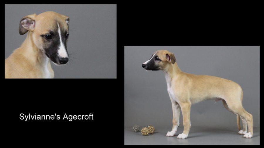 Agecroft 9 Wochen alt
