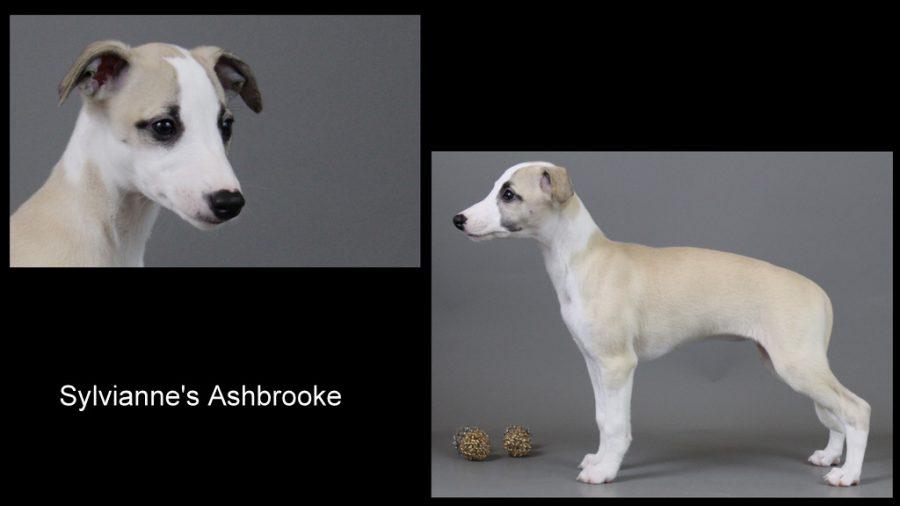 Ashbrooke 9 Wochen alt